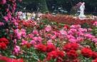 '100만 송이 장미'의 모든 것…두가지 색, 향기 지속, 신품종까지