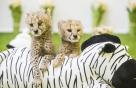 멸종위기 치타·40% 감소한 기린, 잇따라 번식 성공