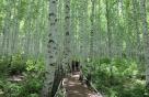 늦봄의 자작나무 숲을 가다