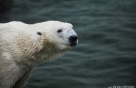 수천만 방문객의 귀염둥이 북극곰 '통키' 韓 떠난다