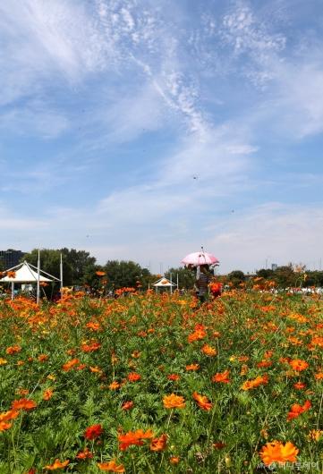 [사진]코스모스와 맑은 하늘