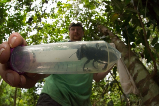 세계에서 가장 큰 \'거인 꿀벌\' 발견