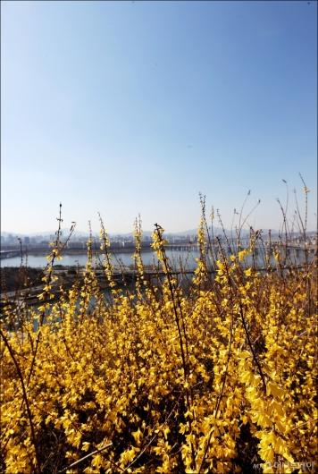 [사진]'맑은 하늘과 개나리'