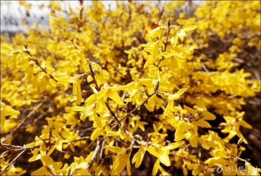 [사진]'봄을 알리는 개나리'