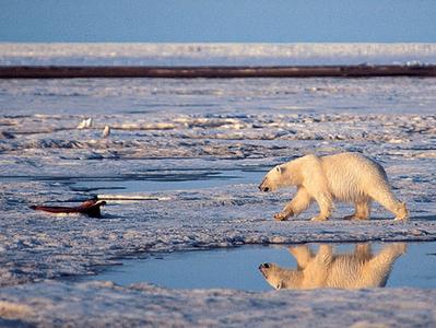 온난화의 저주...북극곰 멸종위기 지정