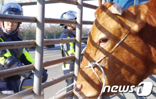 ↑ 차량에 실려 있는 한우. 5일 오전 한우반납운동을 위해 한우협회 전북도지회의 한 회원이 호남고속도로 전주IC 인근에 소를 싣고 왔다.  News1
