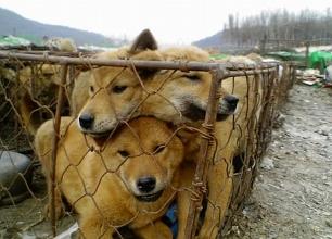 '식용'으로 판매된 개들이 철창에 갇혀 있다./사진제공=동물사랑실천협회