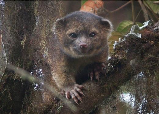15일(현지시간) 스미스소니언 측이 새로운 포유류로 소개한 '올링귀토'. 남미 안데스 산맥 주변에서 서식하며 나무 위에서 주로 과일을 먹고 산다. /사진=WP