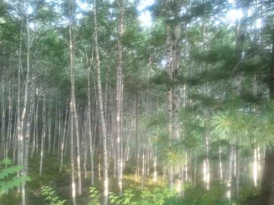 집다리길 자작나무숲