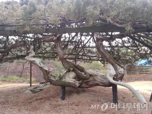 벼락을 맞고도 살아남은 향나무.  2013년 11월7일.