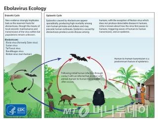에볼라바이러스 감염경로/자료=미국 질병통제예방센터(CDC)<br /> 에볼라바이러스는 감염된 사람의 체액, 분비물, 혈액 등과의 직접 접촉이나 감염된 침팬지, 고릴라, 과일박쥐 등 동물과의 접촉을 통해 감염된다.