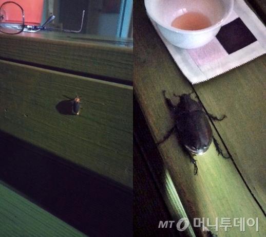 저녁빛에 홀린건지 꽃차향에 유혹된 건지 날아든 반딧불이(왼쪽)와 암컷 장수풍뎅이.