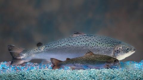 유전자 변형된 연어가 우리의 식탁에 오른다. 미국 FDA는 GM연어 상업화를 승인했다/사진=위키피디아<br>