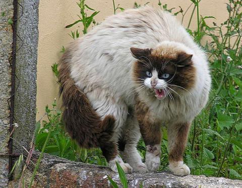 고양이는 자신의 영역에 누군가 침범하면 털을 바짝 세우고 공격성을 보인다/사진=위키피디아