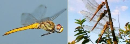 팬탈라 잠자리의 몸체와 날개는 기류를 타고 엄청난 거리를 활공할 수 있도록 진화했다/사진=Greg Lasley / Wikipedia<br>