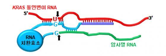 변이된 KRAS RNA 부위 (붉은 색 'U') 를 특이적으로 인지 후 암사멸 기능을 가진 RNA (초록색)로 변환시킴으로써, KRAS 유전자가 돌연변이된 암세포에서만 항암 유전자 발현을 유도한다.)