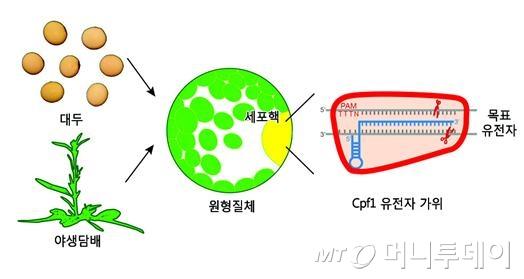 신형 유전자가위로 식물 유전자 교정/자료=IBS