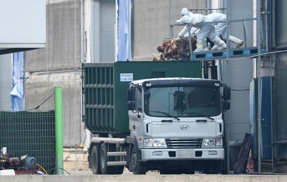 AI의심축이 발견된 한 종계 농가에서 방역 관계자들이 살처분된 닭을 차량으로 옮기고 있다./사진=뉴스1