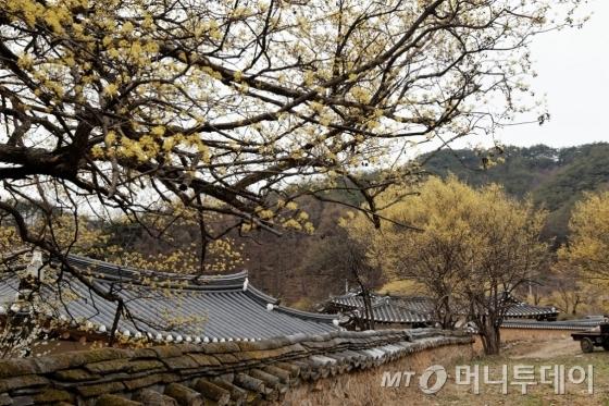 온 마을이 산수유꽃으로 노랗게 물들어있다. /사진=이호준 시인·여행작가