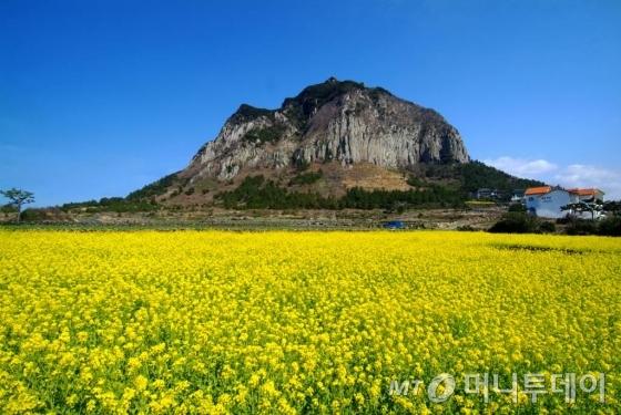 유채꽃이 핀 제주 산방산 풍경 /사진제공=제주관광공사
