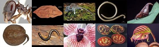 (사진 왼쪽 상단부터 시계방향)가시 달린 개미(Pheidole drogon), 과자 반죽 바다벌레(Xenoturbella churro), 나무뿌리 먹는 쥐(Gracilimus radix), 노래기(Illacme tobini), 마법사 모자 거미(Eriovixia gryffindori), 핑크 여치Eulophophyllum kirki), 피 흘리는 토마토(Solanum ossicruentum), 악마 난초(Telipogon diabolicus), 수영하는 지네(Scolopendra cataracta), 왕담수가오리(Potamotrygon rex)/사진=IISE
