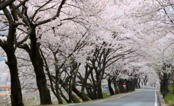 벚꽃이 피어있는 쌍계사 길/사진=최광임 시인