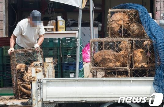 복날을 하루 앞둔11일 경기 성남 모란시장에서 육견업자들이 개를 차에서 내리고 있다. /사진=뉴스1