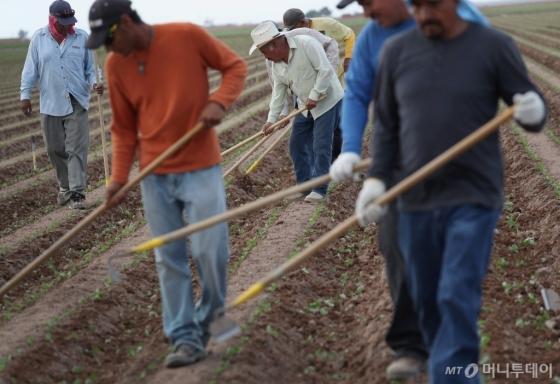 미국 캘리포니아주 홀트빌의 한 농장에서 멕시코 출신 노동자들이 일을 하고 있다. 미국 정부는 17일(현지시간) 비숙련 외국인 노동자에 대한 단기취업비자 발급 한도를 확대했다. /AFPBBNews=뉴스1