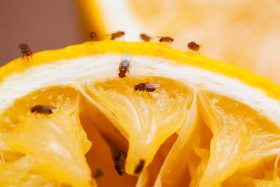 바나나에 알100개 낳고 '위이잉'…초파리, 퇴치법은?