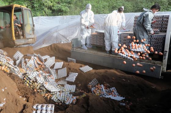 17일 오후 강원도 철원군의 한 농장에서 방역당국이 살충제 성분이 검출된 계란을 폐기하고 있다.2017.08.17. / 뉴스1  <저작권자 © 뉴스1코리아, 무단전재 및 재배포 금지>