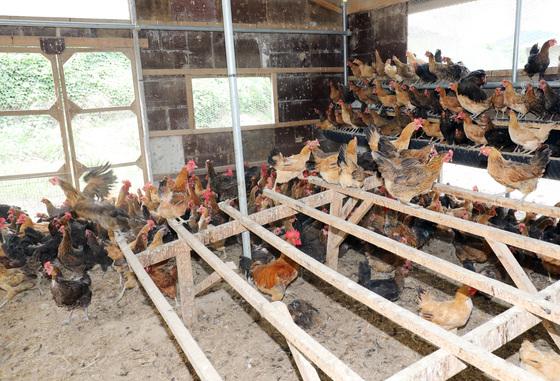 잔류 허용치를 넘어서는 DDT(디클로로디페닐트라클로로에탄)성분이 검출된 닭들이 23일 경북 영천 도동의 한 재래닭 사육농장에서 자유롭게 뛰어놀고 있다.  경북도는 옛 과수원 부지였던 이곳 사육장의 토양에 DDT성분이 남아 닭의 체내에 들어갔을수 있을것으로 추정해 현재 조사중이다. /사진=뉴스1