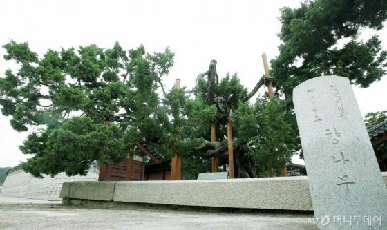 창덕궁에서 가장 나이가 많은 향나무(천연기념물 제194호)다. 수령 700년으로 추정한다. 창덕궁보다 더 오랜 역사를 갖고 있다. /사진=김창현 기자