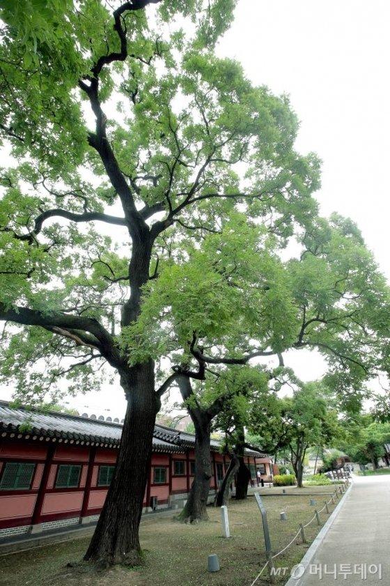 창덕궁 돈화문으로 들어오면 가장 먼저 만나게 되는 회화나무 네그루. 3정승이 모여 왕을 만나기 전 정사를 논했다는 얘기가 전해온다. 회화나무는 '학자수'로 분류된다. /사진=김창현 기자
