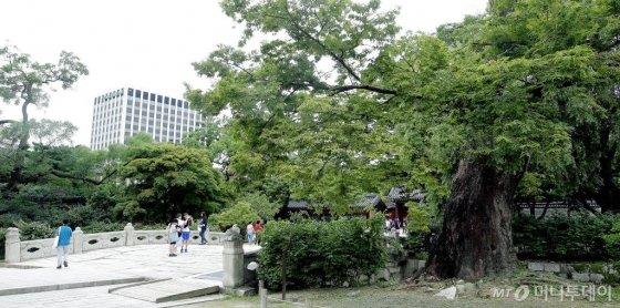 창덕궁에서 두번째로 오래된 수령 670년 추정 느티나무가 아프다. 느티나무는 오동나무 등과 함께 속이 단단하고 잘 썩지 않는다 국내 보호수 91만여 그루 중 7000여 그루를 차지할 정도로 우리 나라 마을 곳곳을 지키고 있다. /사진=김창현 기자