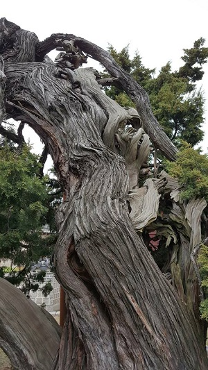 정조와 순조 시대 학자이자 시인 유득공의 둘째 아들인 수헌 유본예(1777~1842)가 규장각 검서관으로 20여 년 간 봉직하면서 쓴 수필집 '수헌집'에 담긴 '이문원의 늙은 노송나무'의 주인공. 노송은 향나무로 수령 700년으로 추정된다. 창덕궁보다 더 오래 살았고, 창덕궁에서 가장 나이가 많다(천연기념물 제194호).나무가지 일부를 떼어다 향을 피워 울퉁불퉁한 모양이 된 것으로 것으로 추정한다. /사진=신혜선기자, 갤럭시S6
