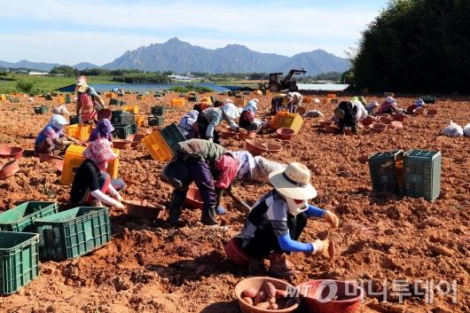 영암군 도포면 성산들녘에서 황토 고구마를 수확하고 있다.