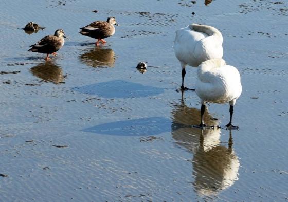 지난 11일 오후 경남 남해군 남해읍 선소마을 인근 갯벌에 천연기념물 201호인 큰고니가 겨울을 나고 있다./사진=뉴시스