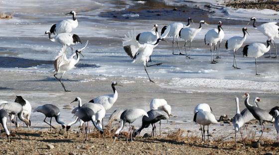 12일 강원도 철원군 한탄강에서 천연기념물 202호인 두루미들이 먹이활동을 하며 겨울을 보내고 있다. /사진=뉴스1