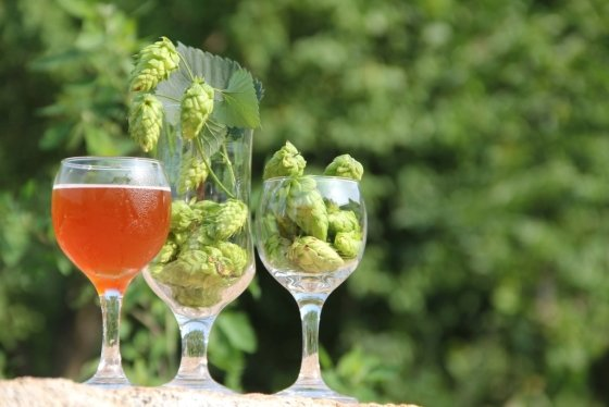 맥주와 홉. 홉은 향과 쓴맛을 조절하고, 단맛과 색깔은 몰트가 맡는다. /사진제공=비어포스트