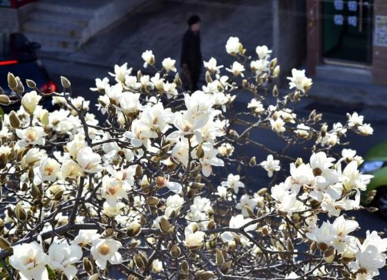 완연한 봄날씨를 보인 13일 부산 수영구의 한 도로변에 목련이 활짝 펴 시민들의 눈길을 사로잡고 있다. /사진=뉴시스