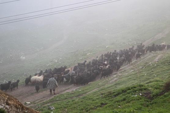 해가 뜨기 전에 양과 염소를 몰고 초원으로 가는 하산케이프의 목동.