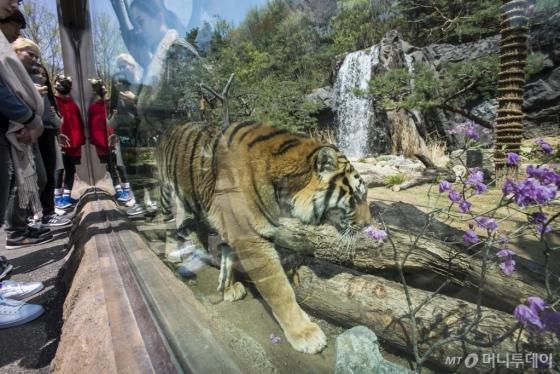 멸종위기 1급 동물인 한국호랑이 체험 전시공간 '타이거 밸리'에서 한국호랑이를 지켜보는 관람객. /사진제공=에버랜드<br />