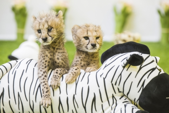 지난 3월 13일 태어난 아기 치타들은 태어날 당시 몸무게가 500g에 불과했으나 현재 몸무게가 2kg이 넘을 정도로  건강하게 자라나고 있다. 아기 치타들은 24일 일반에 공개됐다. /사진제공=에버랜드<br />