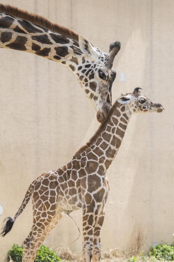 지난 12일에 태어난 아기 기린은 태어나면서부터 키가 180cm의 장신이지만 천진난만한 아기의 모습으로 사육사들의 귀여움을 독차지하고 있다. 아기 기린은 오는 6월쯤 일반에 공개된다. /사진제공=에버랜드
