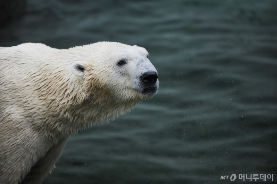 에버랜드 북극곰 '통키'가 오는 11월 건강과 노후를 위해 영국으로 이주한다. /사진제공=에버랜드