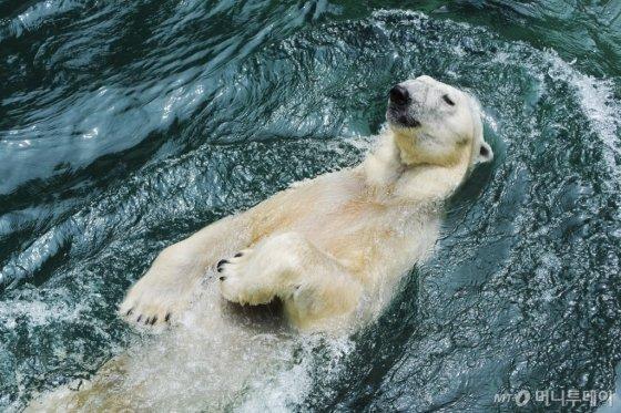 에버랜드 북극곰 '통키'. /사진제공=에버랜드<br />