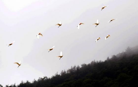 경남 남해군 남면 한 들녘에서 황로 20여 마 리가 모내기가 끝난 논 위를 날아다니며 먹이활동을 하고 있다./사진=뉴시스