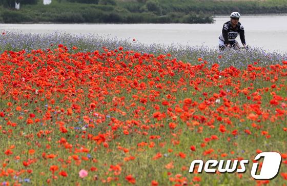 [사진]'양귀비 물결 따라 자전거 타요'