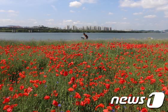 [사진]한강에 활짝 핀 붉은 양귀비