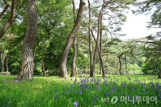소수서원으로 가는 길의 소나무들./사진제공=이호준 여행작가